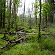 Kaltušie un kritušie koki - mājas dzeņveidīgajiem putniem un kukaiņiem