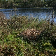 Skaista ezera salās ir vispiemērotākie apstākļi dzervju ligzdošanai. Dzērves ligzda ar 2 olām. ©A. Petriņš